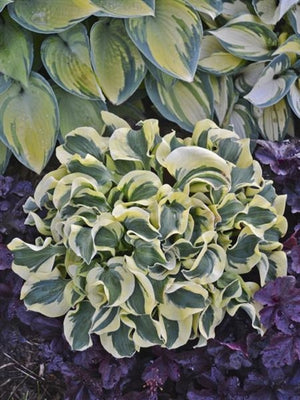 Hosta hybrid Mini Skirt Plantain Lily image credit Walters Gardens Inc.