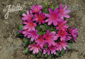 Lewisia longipetala Little Raspberry Bitter Root image credit Jelitto