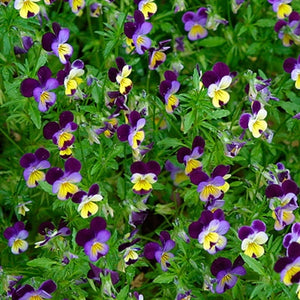 Viola tricolour Johnny Jump Up Violet image credit Millgrove Perennials