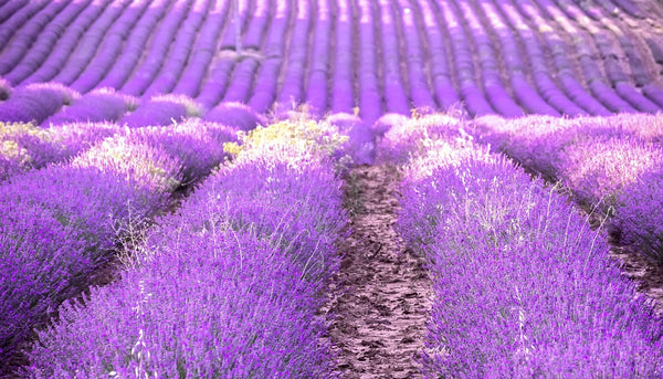 Sensory journeys: cultural base of perfume, my journey could only start from Provence