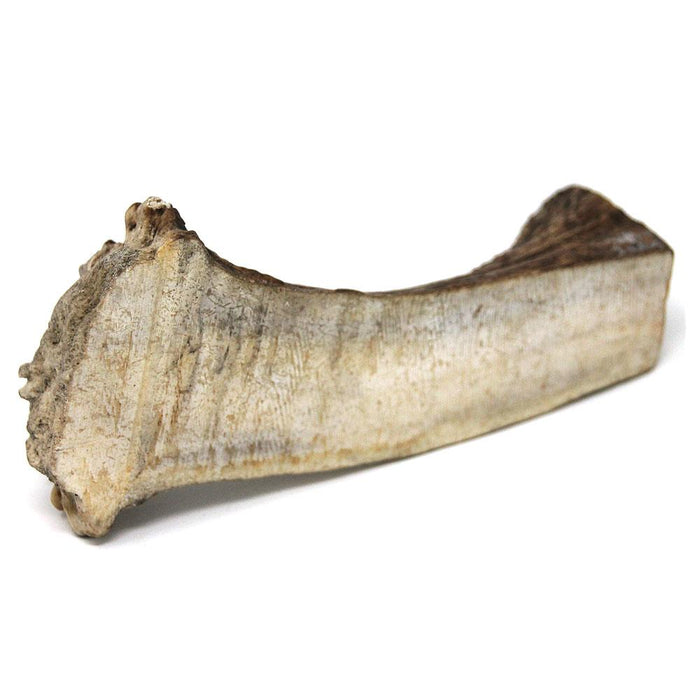 Moose Antler - Huge