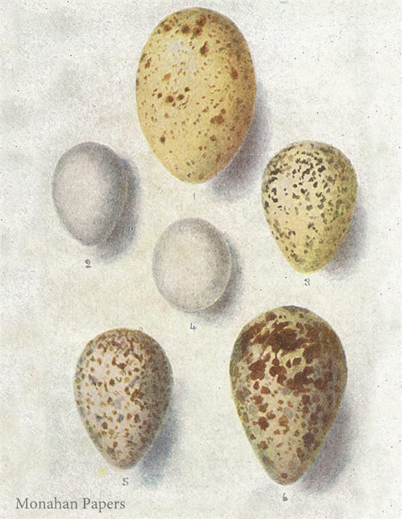 monahan paper E11BBB six speckled eggs