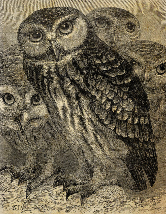 A Gathering of Owls