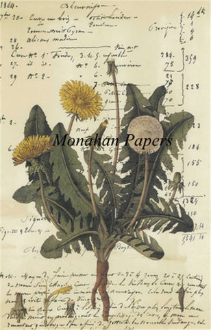 monahan papers bot9b dandelion