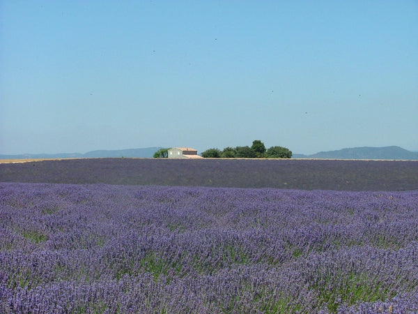 English Lavender Water - History and Recipes - JaneAusten.co.uk
