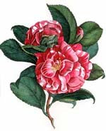 A Redoute Rose