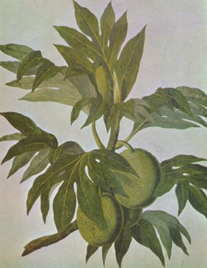 Drawing of breadfruit by John Frederick Miller, 1759-1796