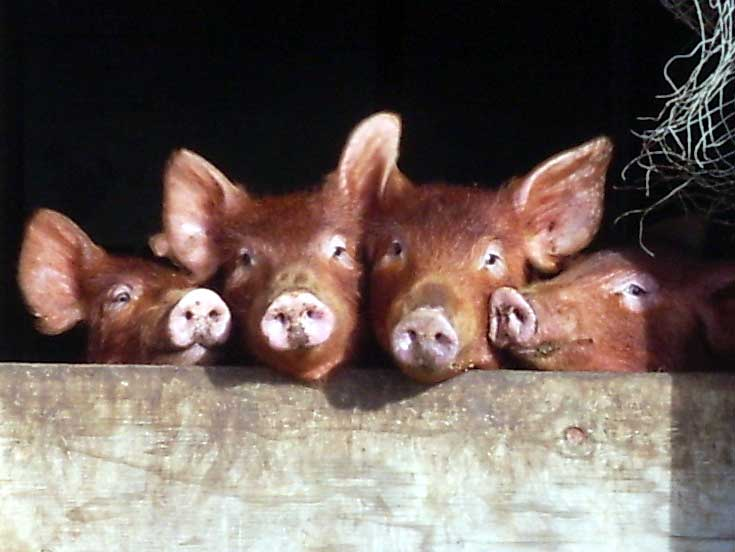 The Tamworth Pig was developed by Sir Robert Peel in 1812.