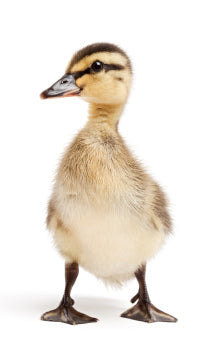 duck isolated on white