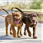 Load image into Gallery viewer, 2 Dogs on A Toggy Doggy Dual Dog Leash