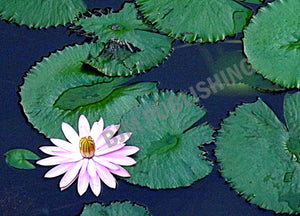 Photo Print - Waterlily - Single water lily