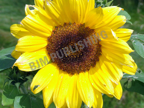Photo Print - Sunflower - Janine's