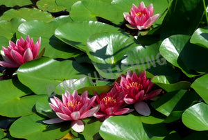 Greeting Card - Garden - Water Lily - Horizontal