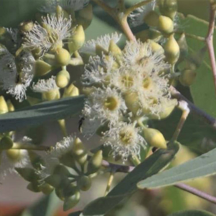 Eucalyptus – are there more than just a few different species?