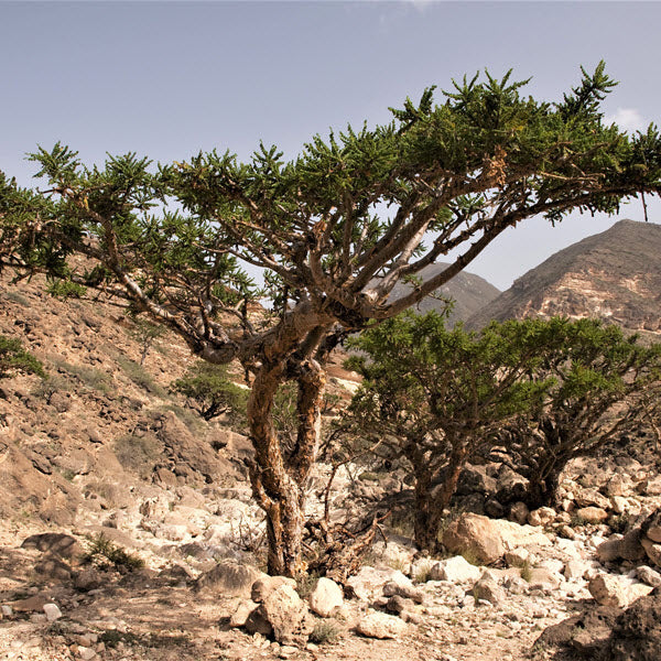 Frankincense as a cure for cancer