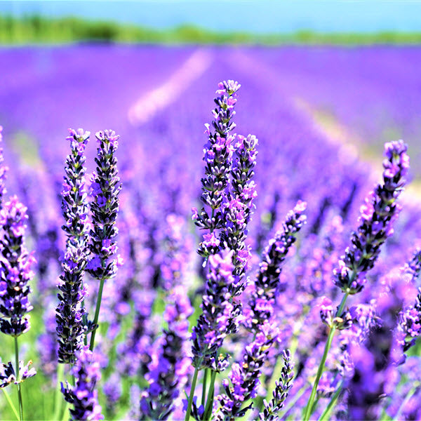 What do You Know About New Zealand Lavender Essential Oil?