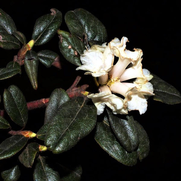 Rhododendron Essential Oil Spotlight