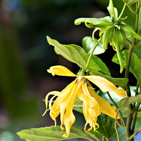 Learning to Love Ylang - Ylang