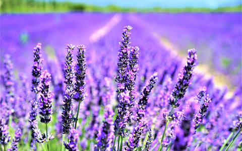 New Zealand Lavender Be Kind Botanicals