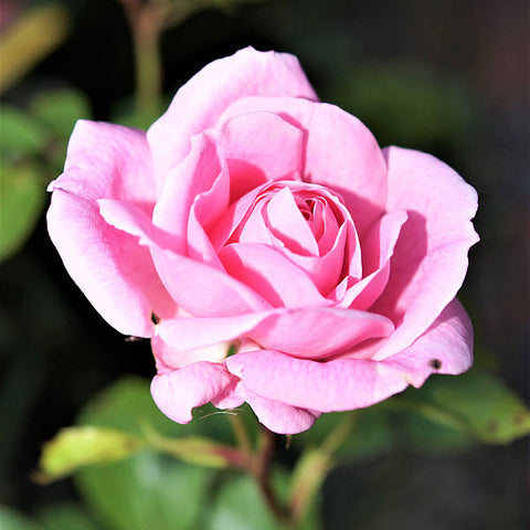 Rose Absolute (Rosa damascena)
