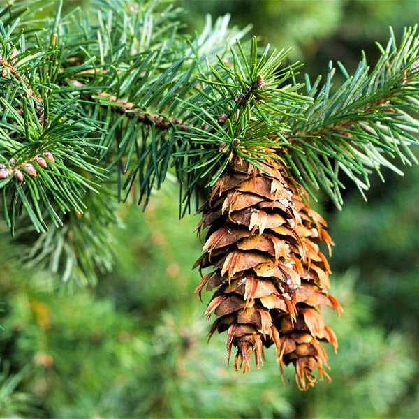 Douglas-fir: From the Botanical to the Essential Oil