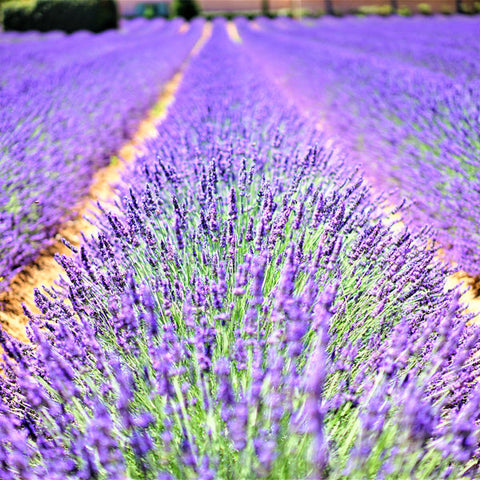 Lavender, New Zealand (Lavandula angustifolia)