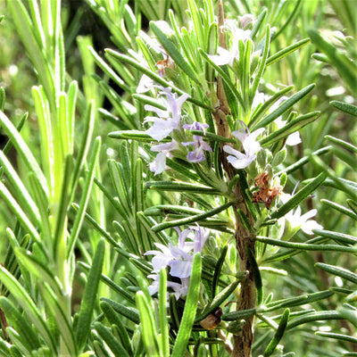 Rosemary Essential Oil cineole
