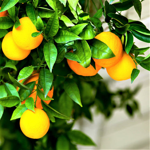Orange, Sweet (Citrus sinensis)