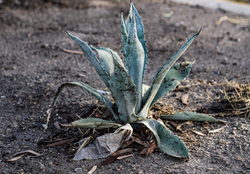 Aloe Vera is Ayurveda's Miracle Plant - Why It's Good For You Too