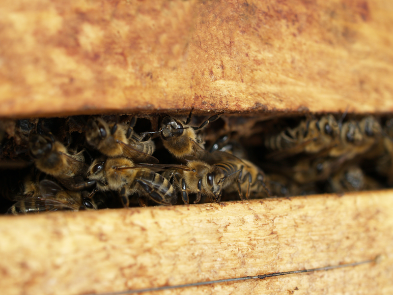 What is Propolis Good For? Why You Need to Take Propolis Extracts and Its Benefits