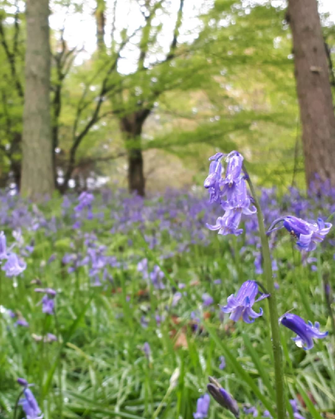 Bluebells at Hergest Croft by Alice Draws the Line
