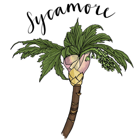 Sycamore study by Alice Draws the Line, modern botanical illustration