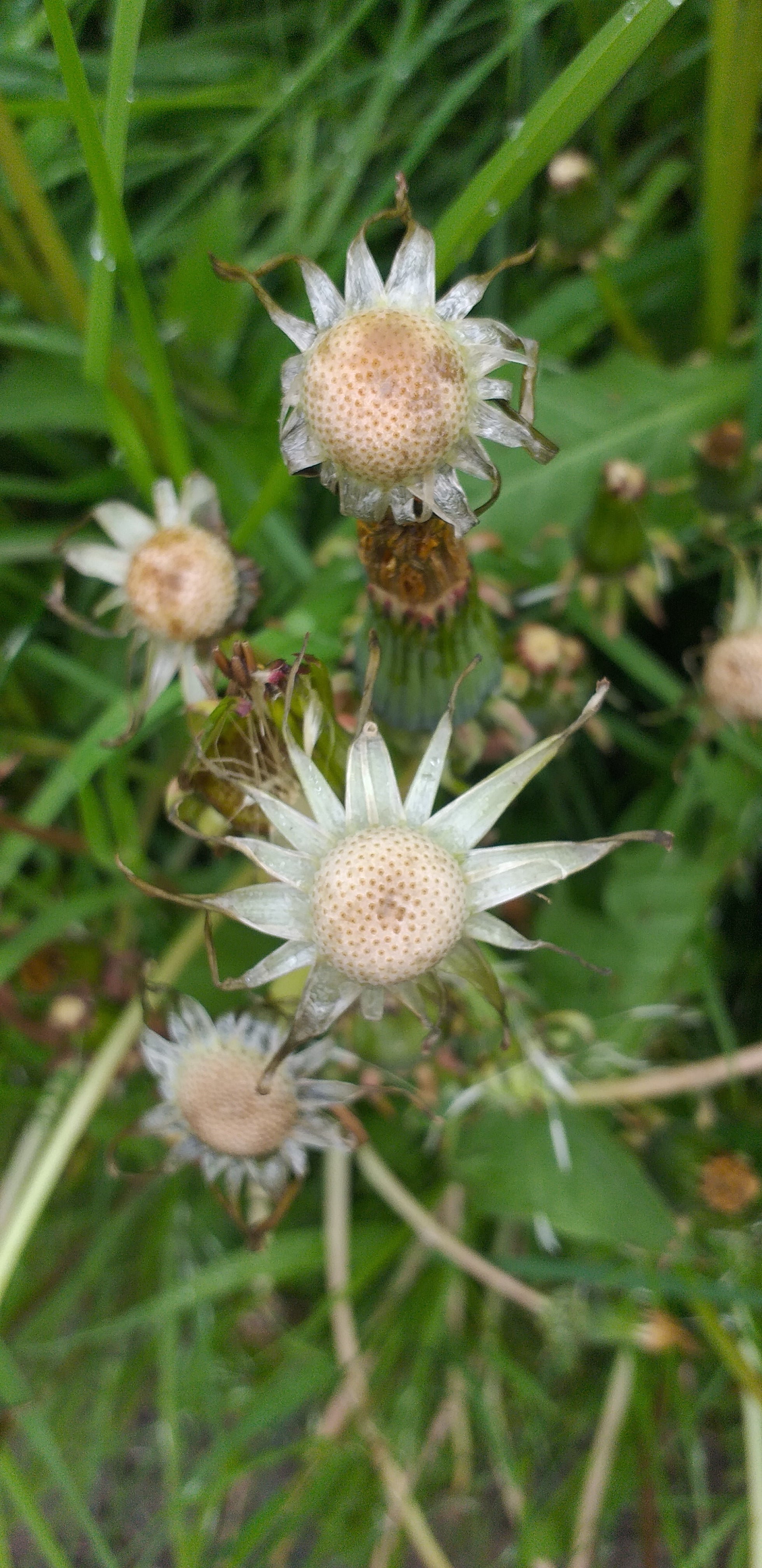 Dandelion stars after seeds by Alice Draws the Line