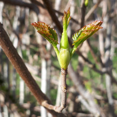 Sycamore buds opening in the spring sunshine by Alice Draws the Line