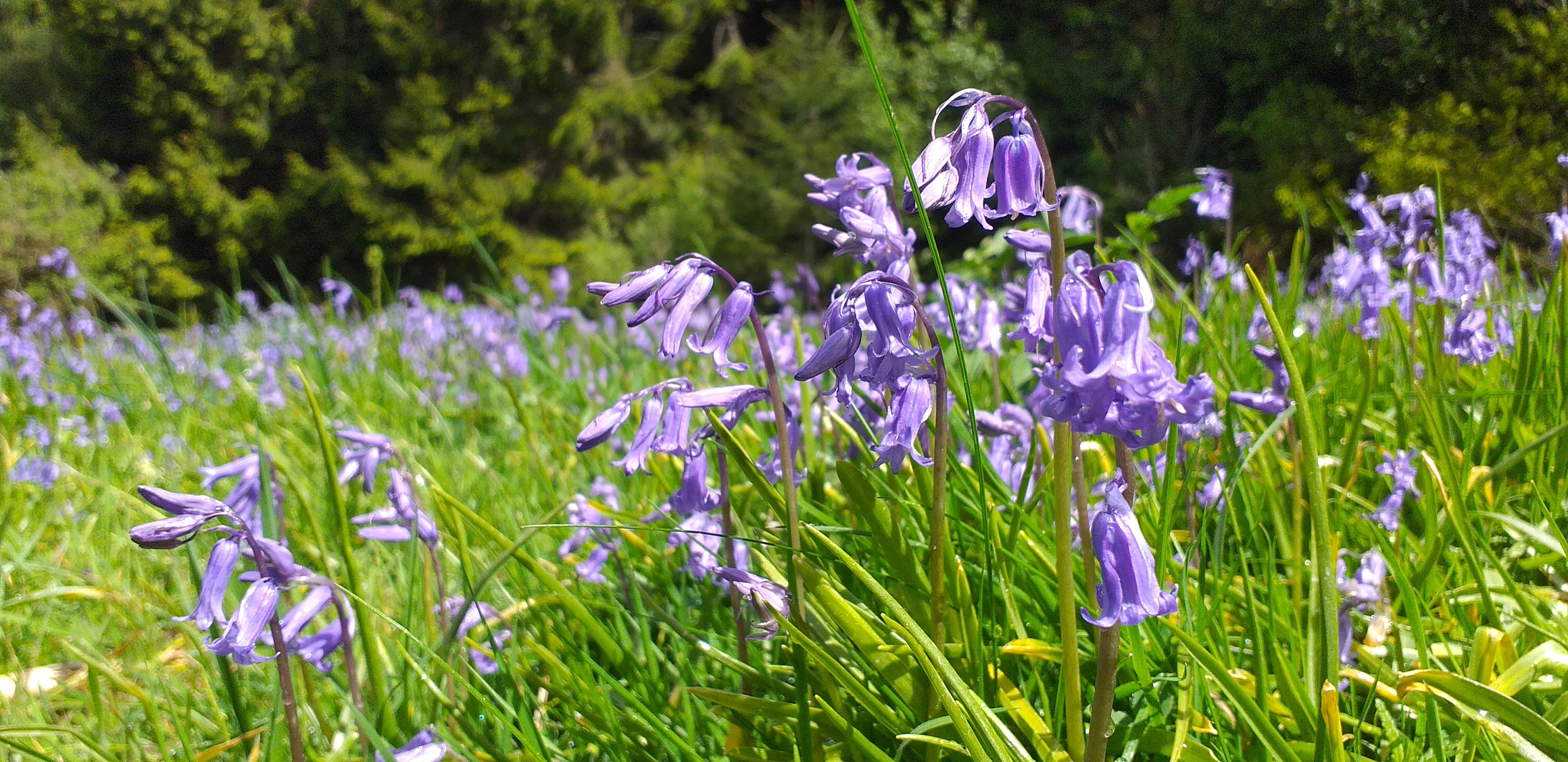 Bluebells in May by Alice Draws the Line
