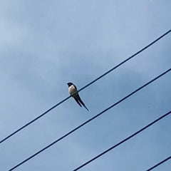 First swallow sighting of the year by Alice Draws the Line