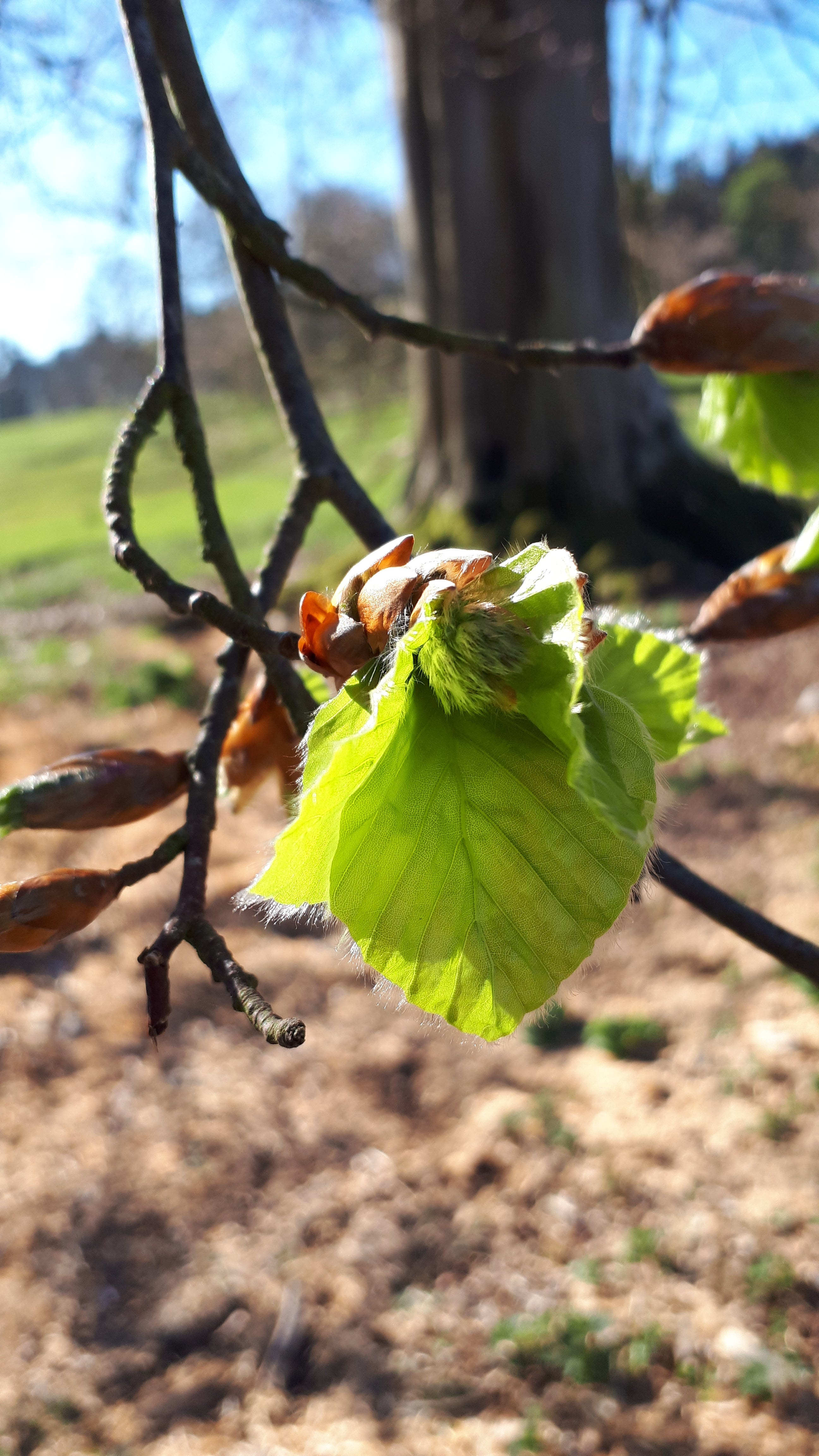 New Beech Leaves by Alice Draws the Line