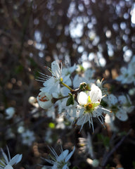 Blackthorn blossom by Alice Draws the LIne