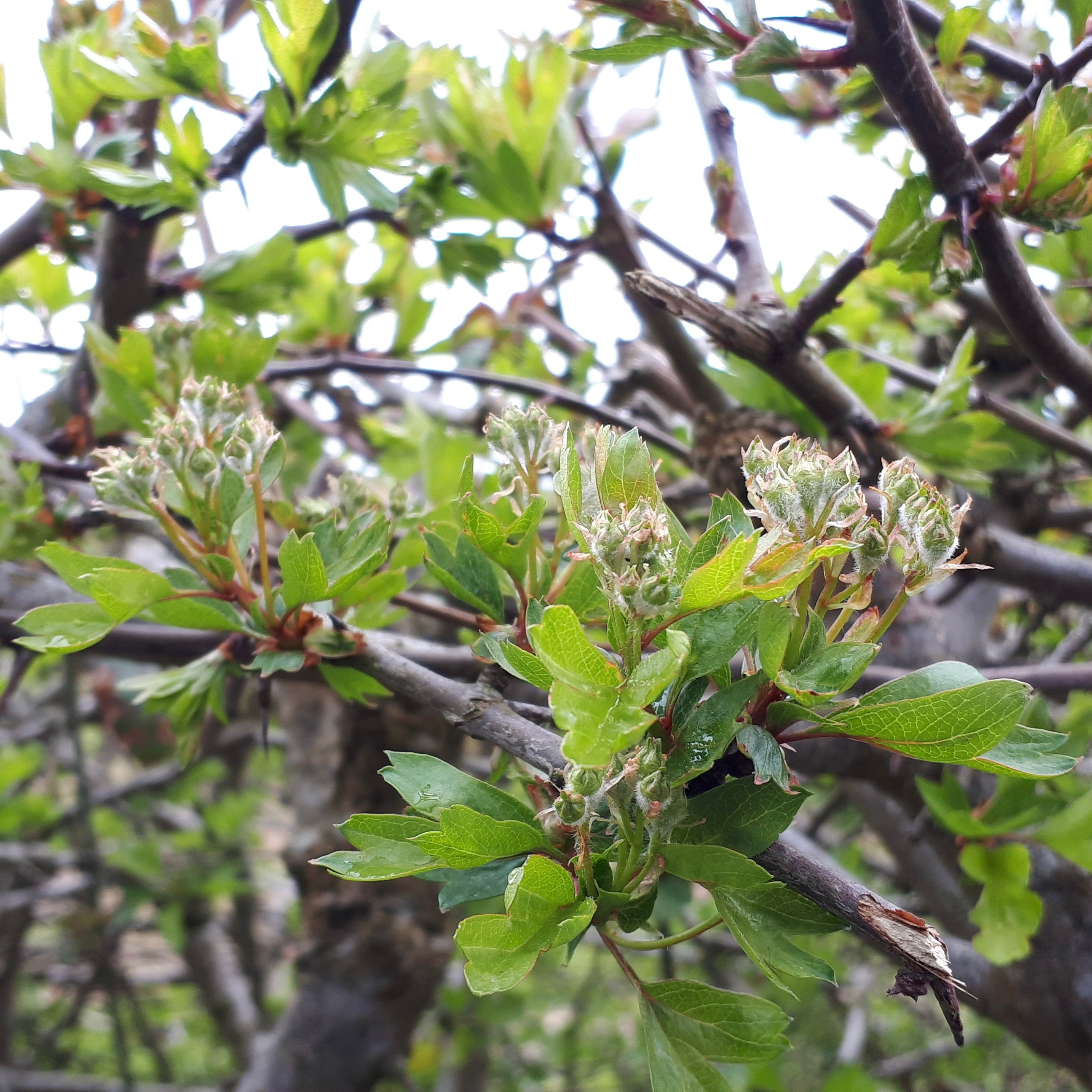 Hawthorn flowers forming by Alice Draws the Line