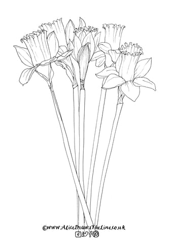 Daffodils botanical illustration by Alice Draws The Line to colour in
