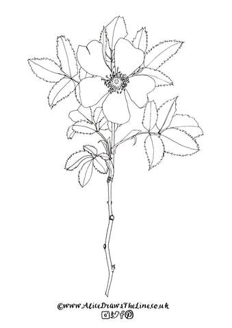 Dog Rose Botanical Colouring in Sheet by Alice Draws The Line Free Download to Print and Colour in