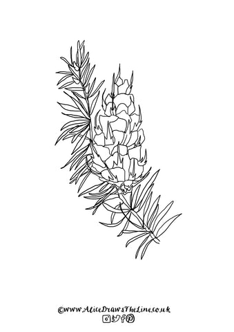 Douglas Fir botanical illustration by Alice Draws The Line downloadable colouring in sheet