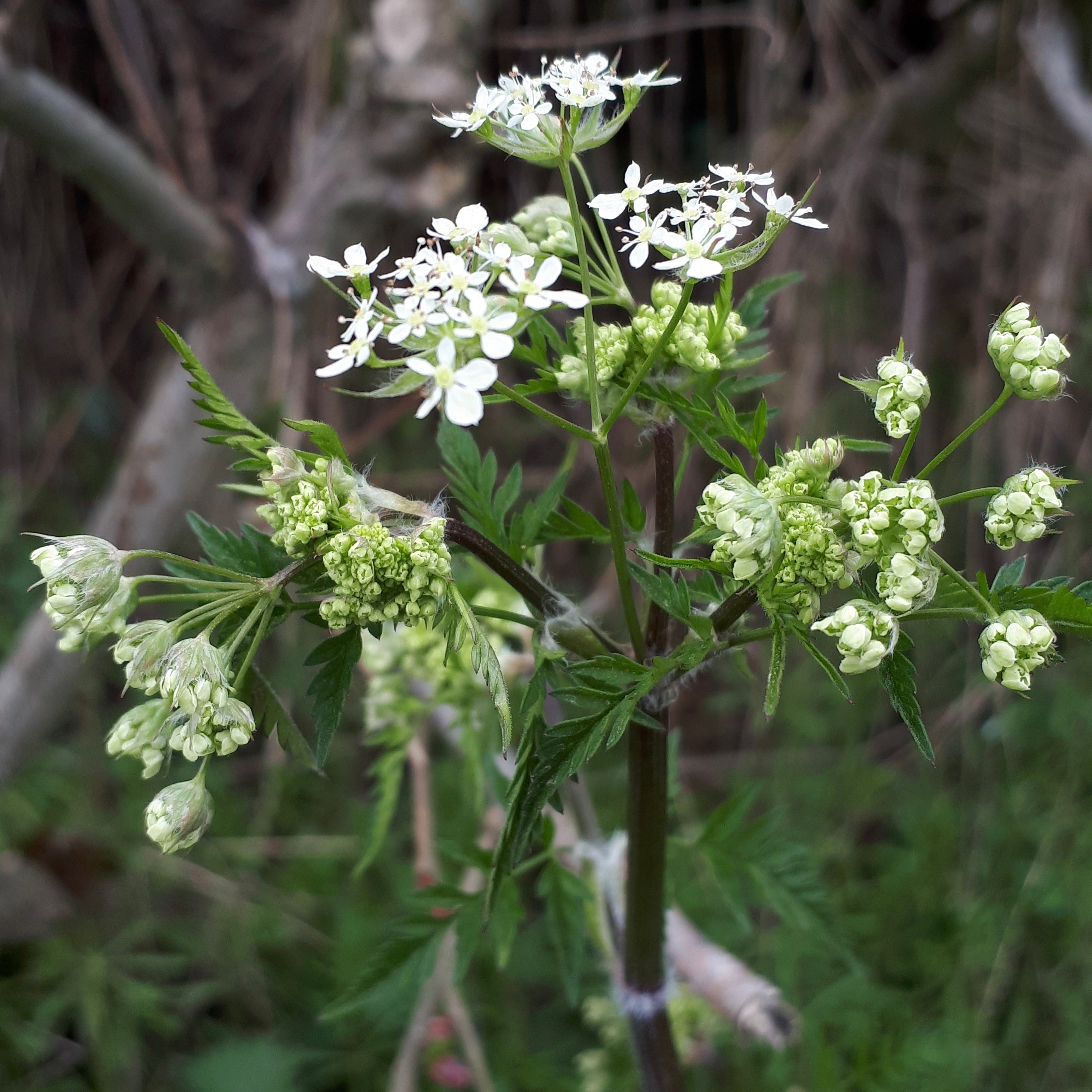 Cow Parsley by Alice Draws the Line