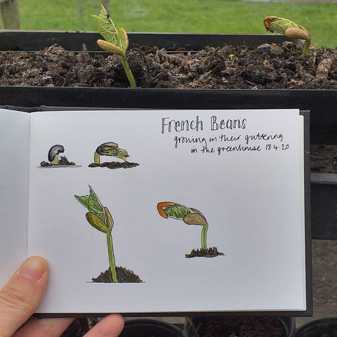 French Beans growing in the greenhouse by Alice Draws The Line