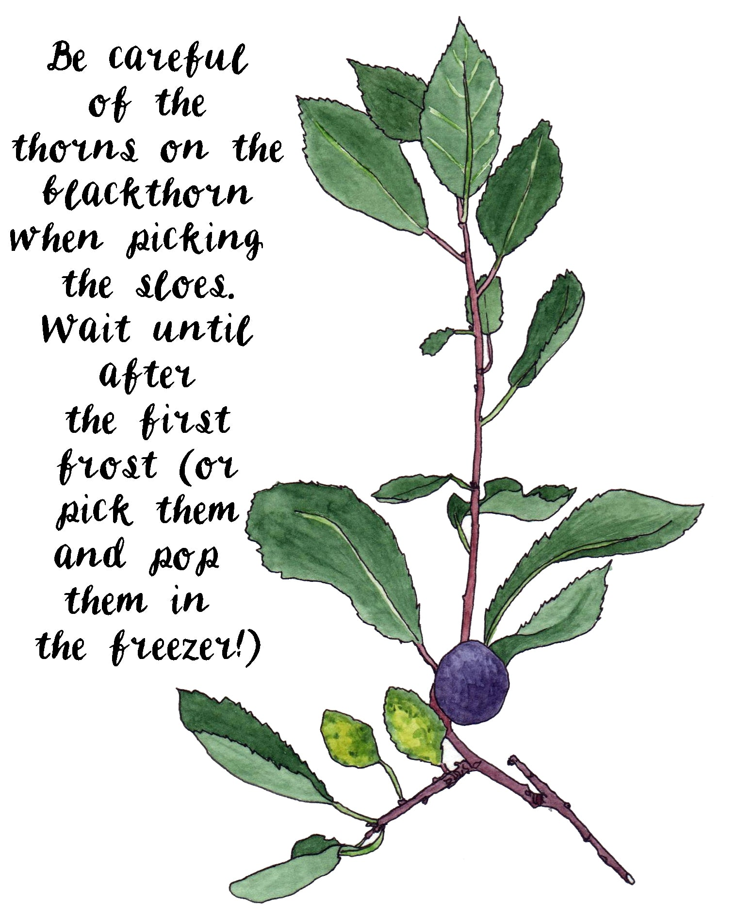 Blackthorn has nasty thorns but also sloes by Alice Draws The Line
