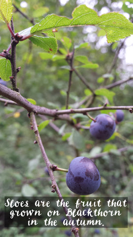 Sloes growing on the blackthorn ready for picking for sloe gin