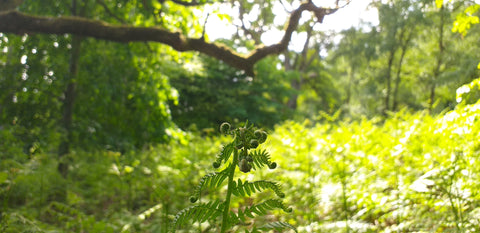 New Bracken in the woods, venturing out with lockdown restrictions lifted, vitamin tree and a sea of green