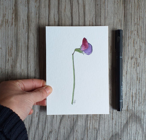 Purple Sweet pea illustration
