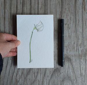 White sweet pea illustration