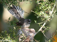 Photo Fantail 2
